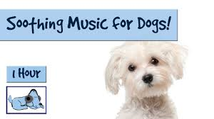 bichon frise x jack russell music for poodles maltese and bichon frise music to relax your