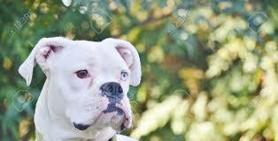 bulldog y boxer primer plano de una hermosa mirando perro boxer blanco único con