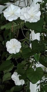 Moon Flowers Best 25 Moonflower Ideas On Pinterest Moon Flower Plant Moon