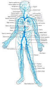 the circulatory system venous herbology and herbalism