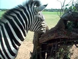 zebra a tree