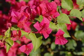 arizona flowers arizona s flower antigonon leptopus baja s arizona