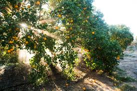 citrus greening leads to worst florida orange slump in 100 years