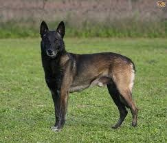 belgian shepherd breeds 1838 best belgian malinois dogs images on pinterest belgian