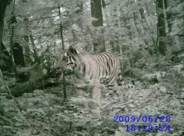 the amur tiger programme