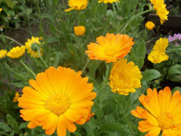 Yellow Orange Flowers - 13 plants with daisy like flowers