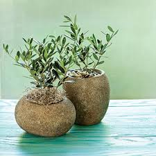 olive gifts 15 gift plants planters garden gifts and trees
