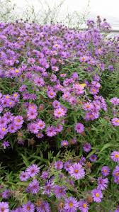best 25 tall purple flowers ideas on pinterest verbena drought