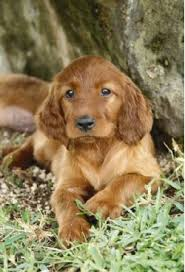 types of setter dog breeds irish setter breed information pictures red setter