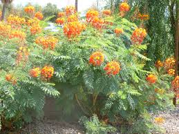 arizona native plants list plants bush with red orange and yellow flowers in arizona red