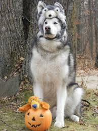 Siberian Husky Meme - tonka the alaskan malamute dressed for halloween as a siberian husky