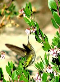 new mexico native plants how to create a california hummingbird garden with native flowers