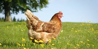 best chickens for eggs country living magazine uk
