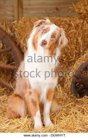 australian shepherd orange australian shepherd red merle stock photos u0026 australian