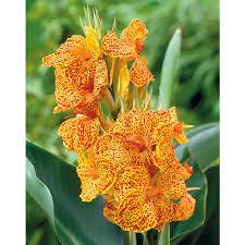 shop 3 count picasso canna lily lb21614 at lowes com flowers