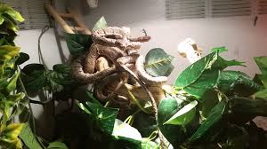 how to amazon tree boa care youtube