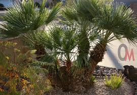 mediterranean fan palm tree 7 reasons to love your mediterranean fan palm and enjoy a care free