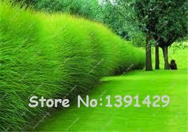 aliexpress buy 1000 pcs golden japanese forest grass seeds