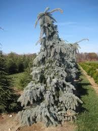 spruce colorado pendula glauca weeping thetreefarm