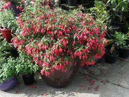 Fragrant Plants For Shade - best plants for balcony garden