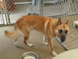 belgian sheepdog lab mix murray shepherd humane society of dallas county