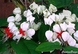Super Lágrima de Cristo - Clerodendrum thonsonae - Flores e Folhagens &YF13