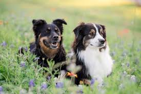 double j ranch australian shepherds admin author at kirstie marie photography