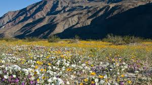 anza borrego record wildflower season possible in anza borrego desert times of