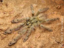 e midlands tarantulas for sale reptile forums