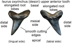 mako shark facts including fossil shark teeth isurus