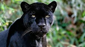 all black jaguar black panther archives hdwallsource com hdwallsource com