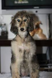 afghan hound rescue az pin by simone maikranz gölzhäuser on afghan pinterest afghan