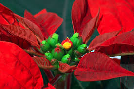 the plant of christmas the poinsettia mobile ranger