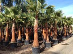 mexican fan palm growth rate mexican fan palm james stuff pinterest mexican fan palm fan