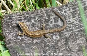 Seeking Lizard Emsworth Wildlife Diary