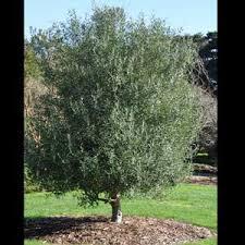 olea europaea olive el greco form place
