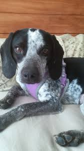 bluetick coonhound beagle operation paws for homes katerina