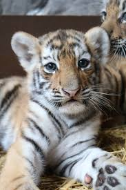 tiger zooborns
