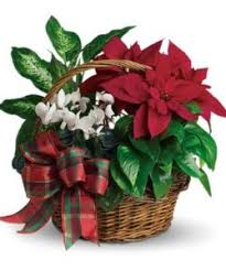 the tradition of the poinsettia blossom flower shops