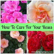simple rose care tips u0026 techniques