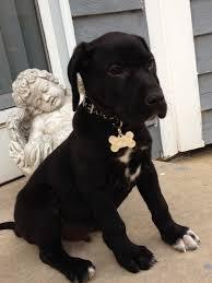 11 bluetick coonhound puppies in a bathtub a mindane it u0027s a miniature great dane puppy too cute
