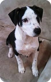 american pitbull terrier mix dog finder adopt a dog or cat near you australian cattle dog