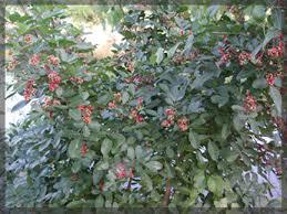 pepper tree christmasberry tree florida
