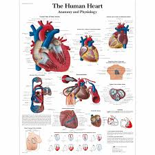 The Human Anatomy Pictures The Human Heart Chart Anatomy And Physiology Vr1334uu