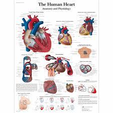 Anatomy And Physiology Apps Cardiovascular System Anatomy Choice Image Learn Human Anatomy Image
