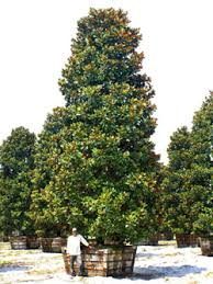 magnolia trees for sale large specimen trees