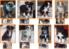 australian shepherd eye color genetics litter 1 spur ghost eye mini aussies available puppies for sale