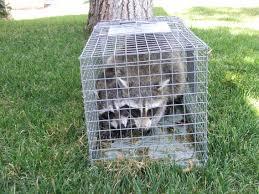 raccoon pest problem in portland oregon humane live