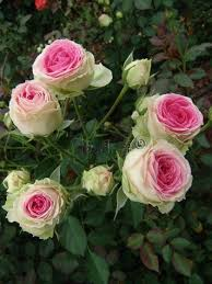 200 best roses images on pinterest cut flowers flowers and
