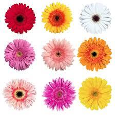 gerbera colors gerbera colors light pink pink yellow white